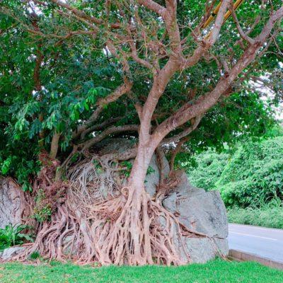 なんかすごい木の根っこ