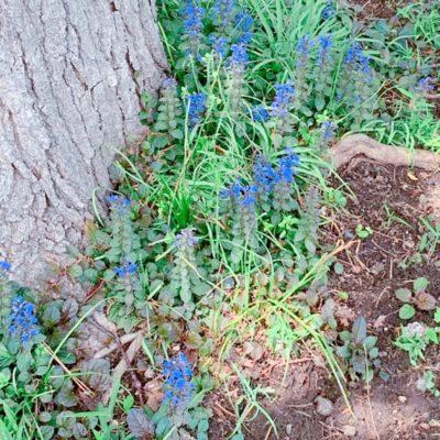 木の根元のラベンダー?