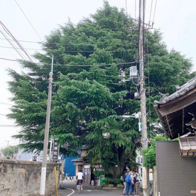 ヒマラヤ杉の全貌